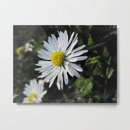 Little daisy downunder Metal Print