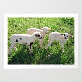 Three Cute Spring Lambs Art Print