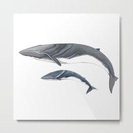 Fin whale Metal Print