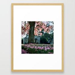 Trumpet Tree in Full Bloom (Tabebuia) Framed Art Print