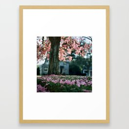 Trumpet Tree in Full Bloom (Tabebuia) Framed Art Print