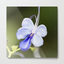 Blue Glory Bower from Bud to Bloom Metal Print