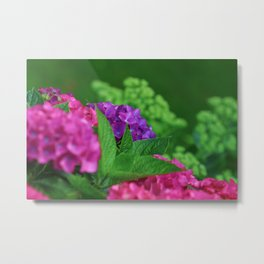Vibrant and Colorful Pink Magenta and Purple Hydrangea Hortensia Flower Metal Print