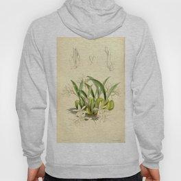 Coelogyne odoratissima Curtis' 90 (Ser. 3 no. 20) pl. 5462 (1864) Hoody