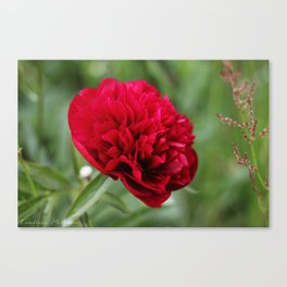 Red Peony in Bloom Canvas Print