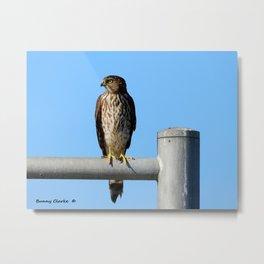 Juvenile Cooper's Hawk Metal Print