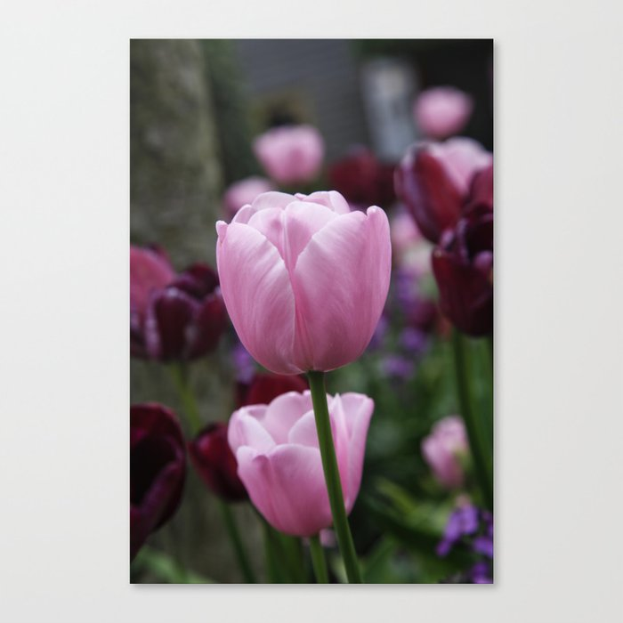 Tulips on Pink Canvas Print