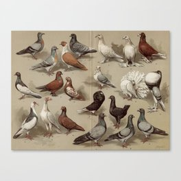Vintage Pigeon Breeds Chart Canvas Print