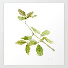 A branch of the tree Psidium fortium Art Print