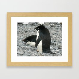 Adelie Penguins, Antarctica 2006 Framed Art Print