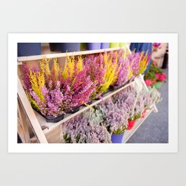 shelves with blooming heather Art Print