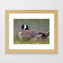 coy goose Framed Art Print