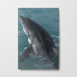 Great White Shark Wounded Metal Print