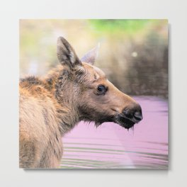 Watercolor Moose Calf 03, Smålandet Moose Safari, Markaryd, Sweden, Pink Plunge Metal Print