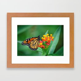 Monarch's Busy Day Framed Art Print