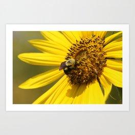 Bumblebee on Sunflower Art Print