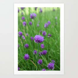 Chive flower Art Print