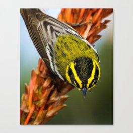 Townsend's Warbler Canvas Print