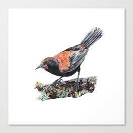 New Zealand Saddleback Canvas Print