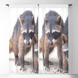 Cute wild Racoons in Costa Rica Blackout Curtain