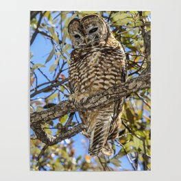 owl. Mexican spotted owl Poster