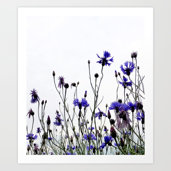 Cornflowers blue Art Print