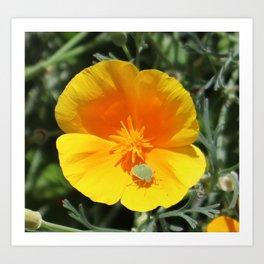 Californian Poppy Bug Art Print