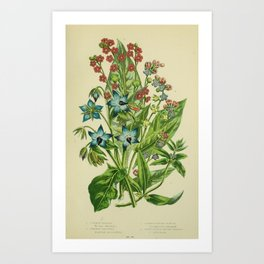 073-COMMON BORAGE, GERMAN MADWORT, COMMON HOUNDS TONGUE, GREEN LEAVED HOUNDS TONGUE Art Print