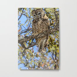 owl. Mexican spotted owl Metal Print