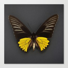 Toides Yellow Butterfly Canvas Print