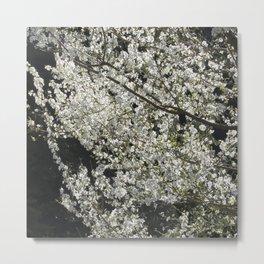 Blooming wild plum Metal Print