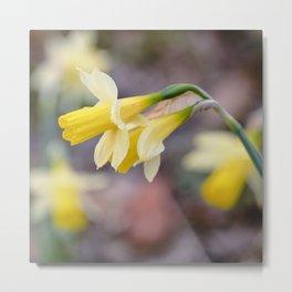 Mountain endemism. Narcissus nevadensis. Daffodi. Sierra Nevada National Park. Metal Print
