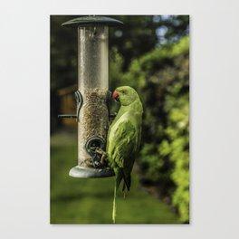 Urban Parakeet  Canvas Print