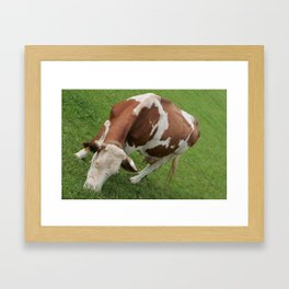 cow in an inclined position, color photo Framed Art Print