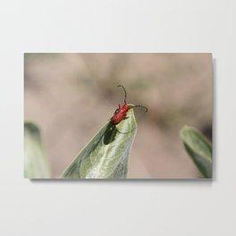 Cerambycidae Beetle on Milkweed Metal Print