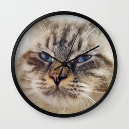 Close-up portrait of blue-eyed Ragamuffin cat Wall Clock