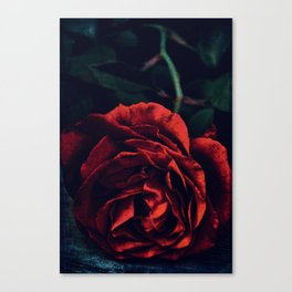 Rose 385 Canvas Print