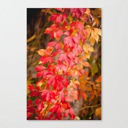 Vitaceae family red plant Parthenocissus quinquefolia vine Canvas Print