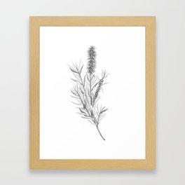 Callistemon Citrinus (Bottlebrush) Botanical Illustration Framed Art Print