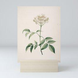 sambucus nigra Redoute Roses 3 Mini Art Print