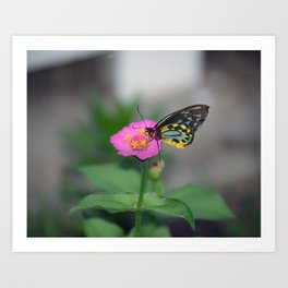 Carins Birdwing Butterfly Art Print