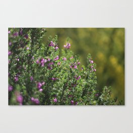 Closeup of Texas Ranger Bush Against Yellow Palo Verde Blossoms Canvas Print