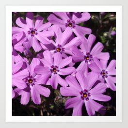 Phlox Flowers Art Print
