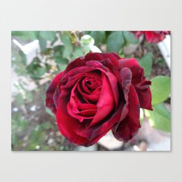 Portrait of a Rose Canvas Print