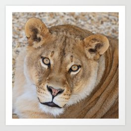 Lioness by OLena Art Art Print