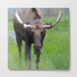 Bullwinkle Bull Metal Print