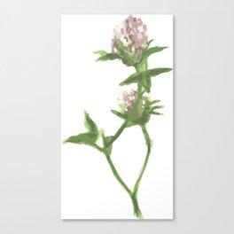 Trifolium pratense illustration Canvas Print
