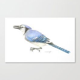 Blue Jay Study in Colored Pencils Canvas Print