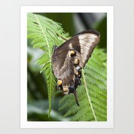 Ulysses  Butterfly Art Print