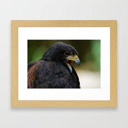 Harris Hawk | Birds of Prey | Birds | Bird Photography | Wildlife Framed Art Print